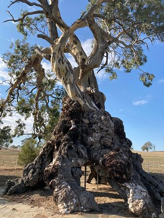 Springton, Australia: The Tree