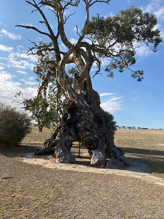 Springton, Australia: The Old Gum