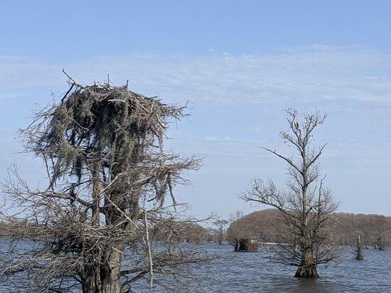Osprey guarding a nest.
