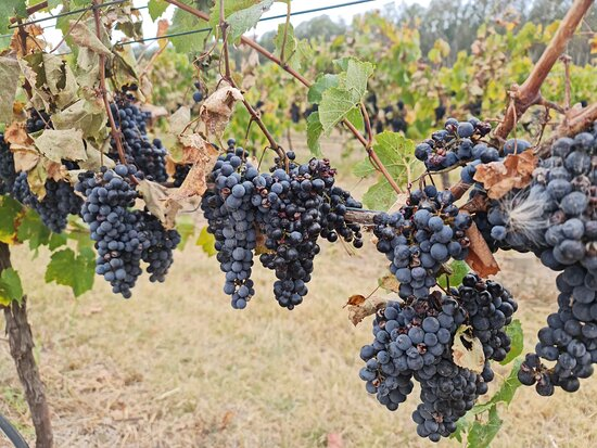 Grapes on the vine at Longleat Estate