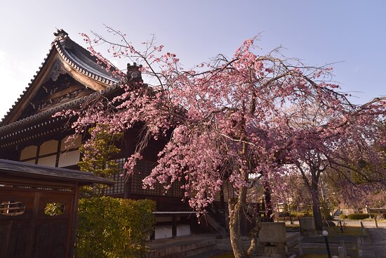 Kyoto, Japan: 妙満寺の桜