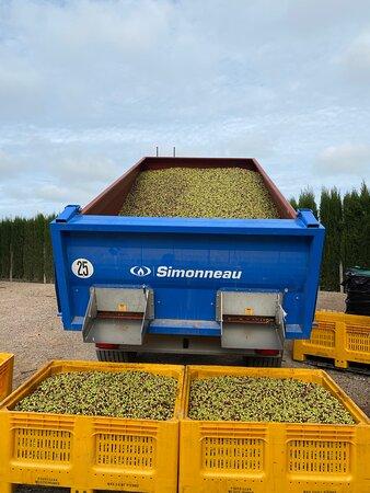 L'arrivée des olives