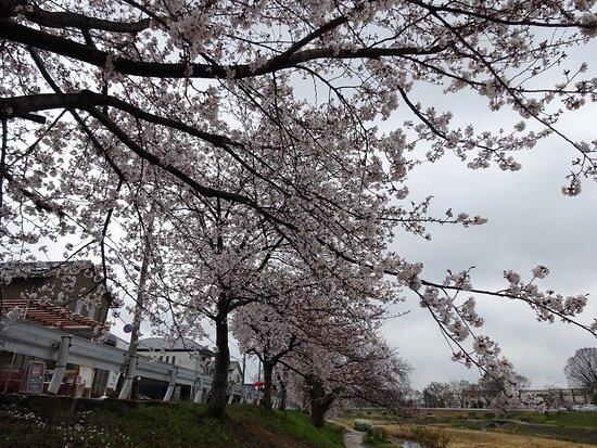 Kyoto, Japan: これは早咲きの山桜の種類です
