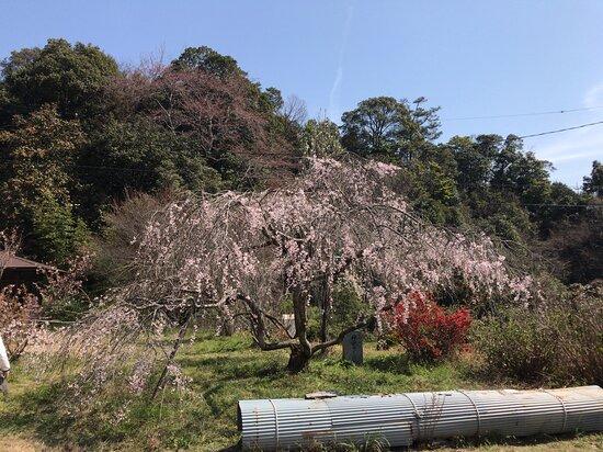 最後に小さな枝垂れ桜を見ました。
