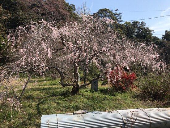 小さな枝垂れ桜を近くで見ました。