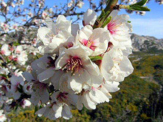 Maussane-les-Alpilles, Prancis: Amandiers en fleurs