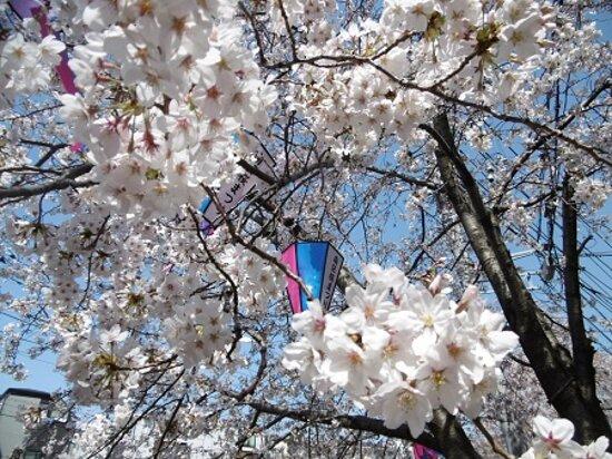 ②弘明寺商店街の桜2