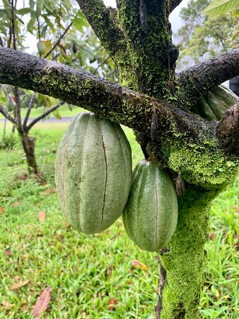 Cocoa variety