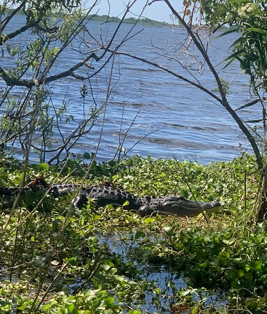 Gators everywhere!