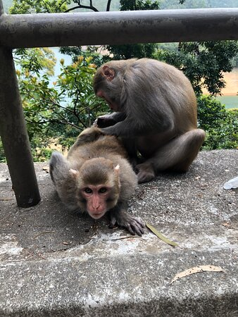 Shing Mun Country Park - macaques