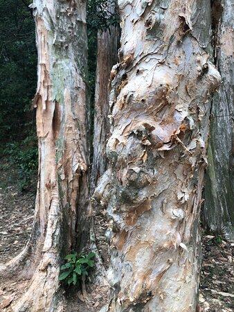 Shing Mun Country Park - lovely paper-bark trees