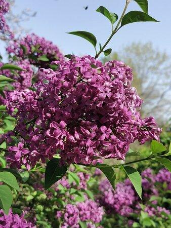 Preciosa lila y su olor encantador.