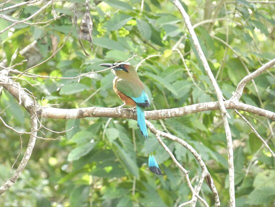 Sian Ka'an & Birdwatching Tours By Eddy: The amazing Turquoise-browed Motmot