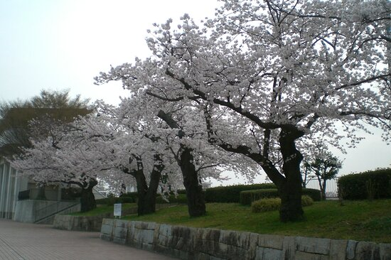 Kanazawa, Japan: 桜満開