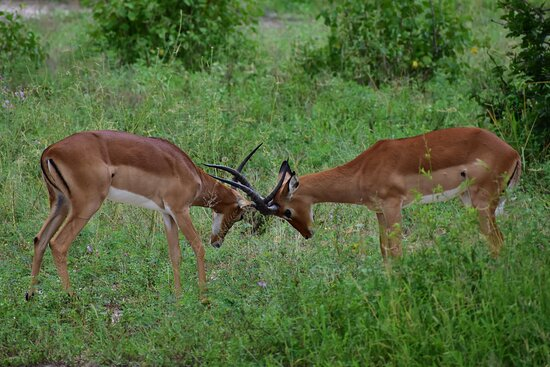 Lake Manyara National Park, تنزانيا: Did you know  Impala fight to determine who is the strongest and thus win mating right with the female breeding group.