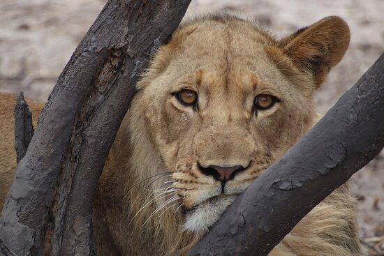 Reserva de Fauna del Kalahari Central, Botsuana: Lion