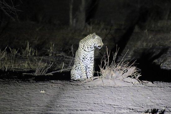 Reserva de Fauna del Kalahari Central, Botsuana: Leopard