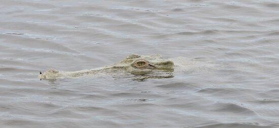 Garig Gunak Barlu National Park, Úc: The albino crocodile