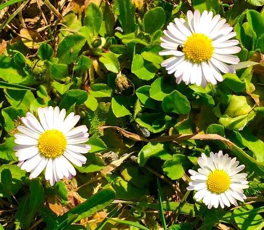 Czech Republic: Daisies - first spring flowers