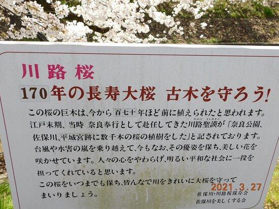 川路桜 説明文