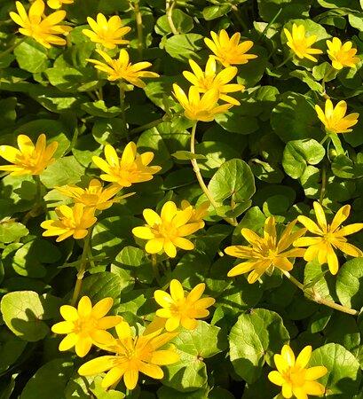 Czech Republic: Like a rug ... the first spring flowers (Ficaria verna)