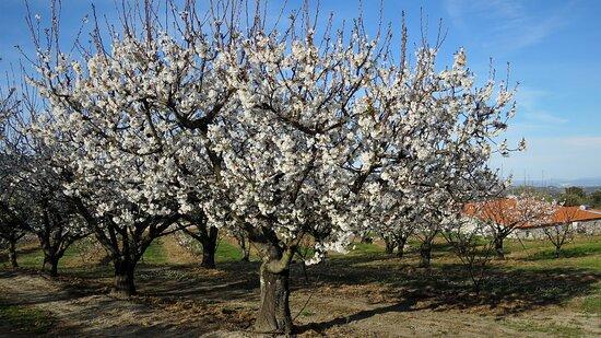 Castelo Novo, Portugal: mais cerejeiras na quinta