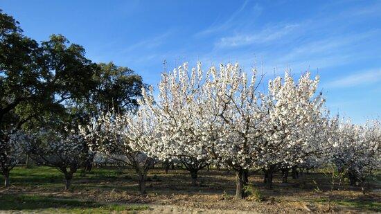 Castelo Novo, Portugal: ainda mais cerejeiras na quinta