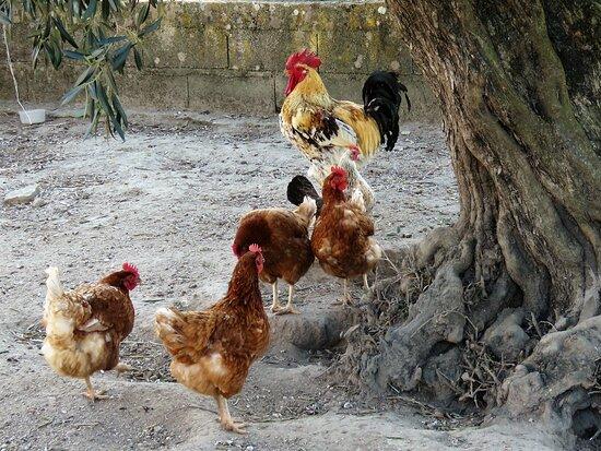 Castelo Novo, Portugal: animais da quinta