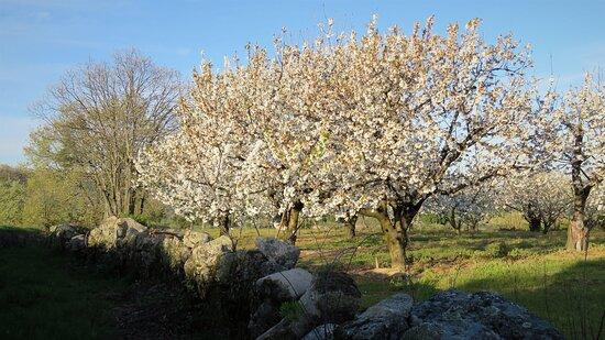 Castelo Novo, Portugal: cerejeiras vizinhas da quinta