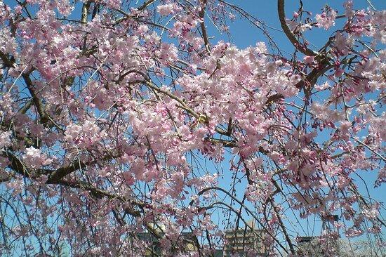 Kanazawa, Japan: 主計町茶屋街桜満開