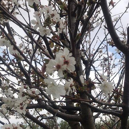 Maracalagonis, Italy: Sardegna i miei susini in fiore