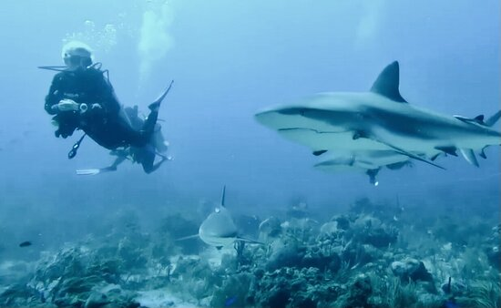 West End, Honduras: Ask us about the LEGENDARY SHARK DIVE! Nowhere else in the world is there such an up close and personal experience with these majestic creatures!