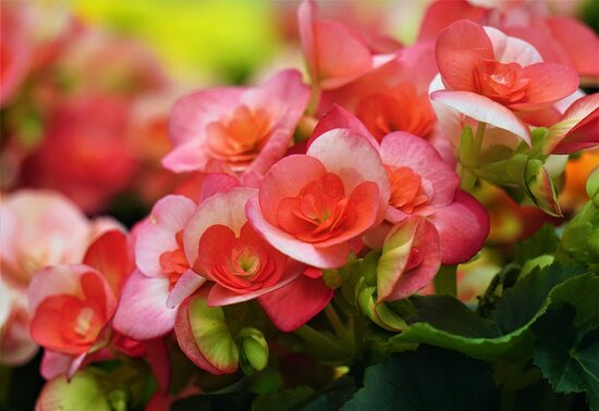 Begonia in the flower bed of Sapporo factory (2)