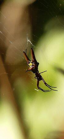 Corcovado National Park, Costa Rica: Arrow shaped Spider