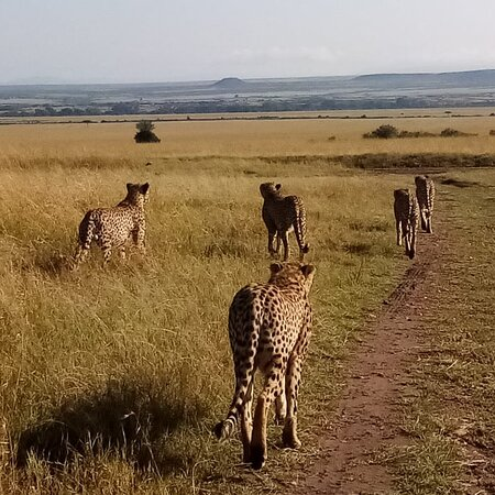 Europe: The lions in Maasai mara national reserve park