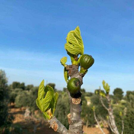 Torre Canne, Italien: I fioroni, frutto dell'albero del fico, sono spuntati