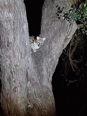 Genet in the tree in front of our unit
