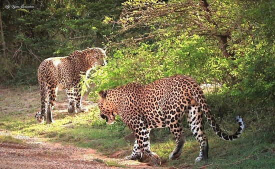 Leopards at the Yala National Park