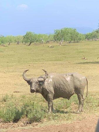 Wild Buffalo at the Yala National Park