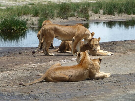 family portrait at Ndutu, Tanzania  lions of Africa - Tanzania safari -  www.safaricrewtanzania.com