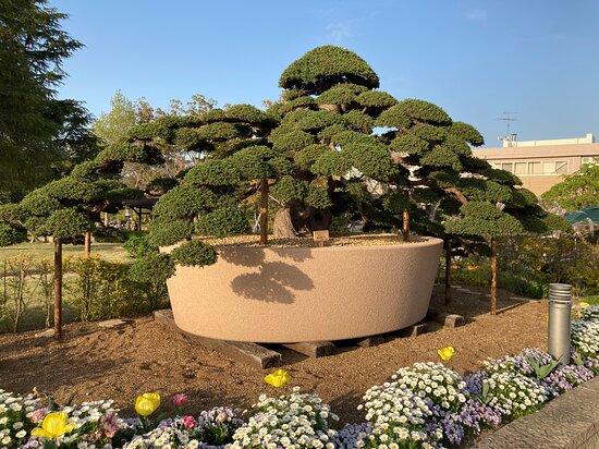 ジャンボ盆栽(推定樹齢150年のハイビャクシン)
