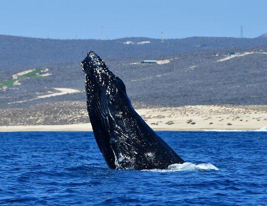 Excursão Aventura de Observação de Baleias do Zodíaco do Cabo: Baby humpback whale breaching