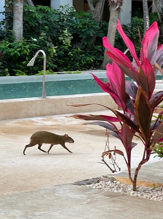 An agouti crosses in front of our terrace first thing in the morning