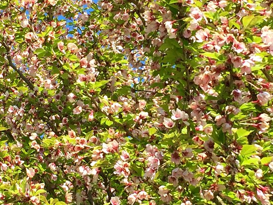 Czech Republic: Densely flowering apple tree ...