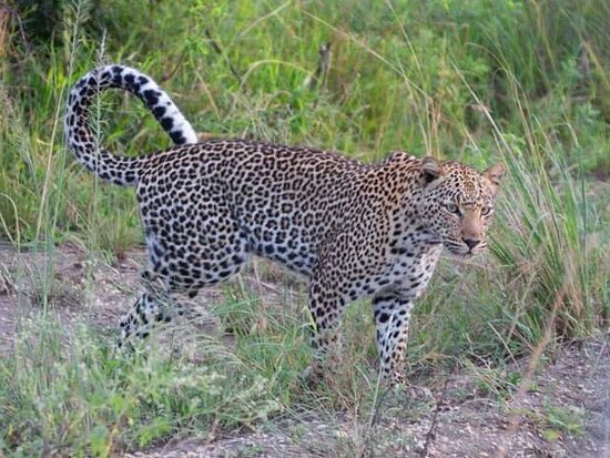 Leopard at Murchison Falls National Park, Uganda