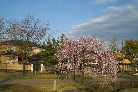 Kanazawa, Japan: 犀川緑地桜