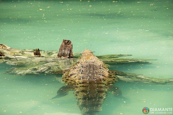 Crocodiles at Diamante pond