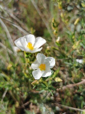 Florecillas de la Jara.