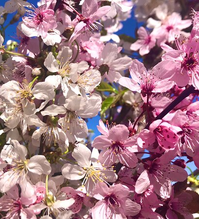 Czech Republic: Springtime prunus flowers