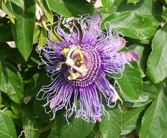 Italien: Noble flower ... memories of Giardini Botanici Hanbury, Ventimiglia